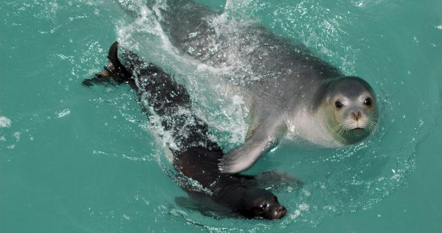 Lobo-marinho